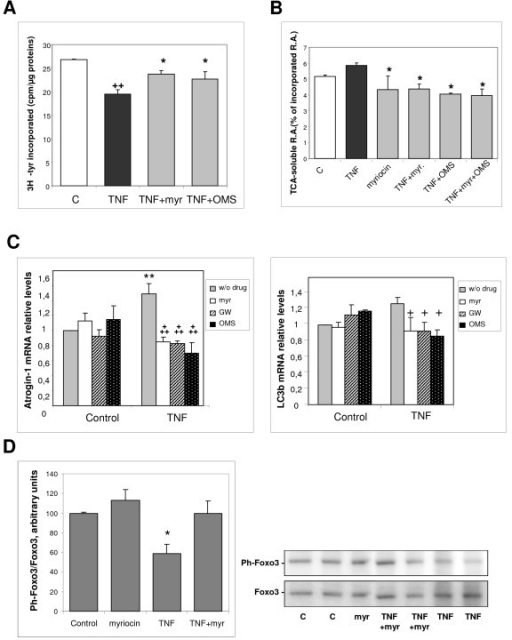 Effects of tumor necrosis factor (TNF)-α on protein metabolism in L6 myotubes are prevented by ceramide-synthesis inhibition. (A) Myotubes were treated for 12 hours with TNF-α, in the presence or absence of 100 nmol/l myriocin, or 1 μmol/l OMS. The rate of protein synthesis was measured by adding [3H]-tyrosine to the culture medium, and counting the radioactivity present in trichloroacetic acid (TCA) precipitates of the cells, in relation to the total protein content. The results are the mean ± SE of three determinations. ++Different from control: P = 0.001; *different from TNF-α alone: P≤ 0.05. (B) Proteolysis was measured in L6 myotubes labeled with [3H]-tyrosine for 48 h, and treated for 12 hours with TNF-α in the presence or absence of 100 nmol/l myriocin, 1 μmol/l OMS, or both. TCA-soluble radioactivity released in the medium was measured and related to the total incorporated radioactivity. The results are the mean ± SE of three determinations. *Different from TNF-α alone: P < 0.05. (C) The mRNA levels of Atrogin-1 and LC3b were measured by reverse transcription quantitative PCR in myotubes treated or not with TNF-α in the presence of 100 nmol/l myriocin, 10 μmol/l GW4869, or 1 μmol/l OMS, and normalized to the TATA box binding protein mRNA. Results are the mean ± SE of 3 to 5 measurements in duplicate. **Different from control without drug: P = 0.01; +++different from TNF-α alone: P≤ 0.001, +P < 0.05. (D) Myotubes were treated for 3 days with or without TNF-α, in the presence of 100 nmol/l myriocin. Phospho- Ser253 Foxo3 in cell extracts was analyzed by western blotting. Results were normalized by total Foxo3 protein amounts. *Different from all other values: P < 0.02.