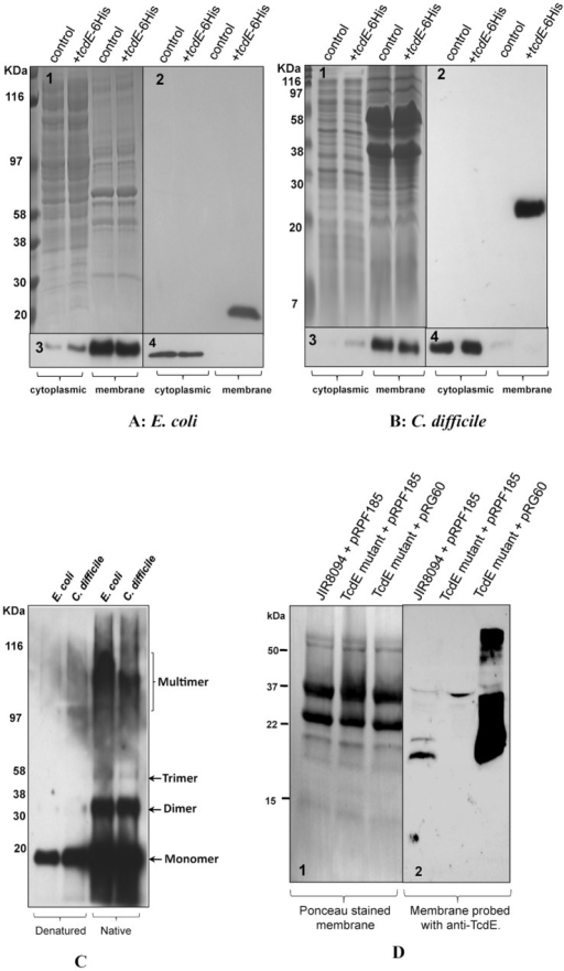 Localization of TcdE in E. coli and C. difficile.A. Cytoplasmic and membrane proteins analysis of E. coli lysogens of λCmrΔ(SR) carrying pBR322 (control) or pCD463 (+tcdE-6xHis). B. Cytoplasmic and membrane proteins analysis of C. difficile strain carrying either pMTL84151 (control) or pRG46 (+tcdE-6xHis). (1) SDS-PAGE coomassie stained gel. Western blots probed with 6XHis Tag antibody (2), ATPase Beta subunit antibody (3), and Ribosomal subunits LI/L2 monoclonal antibody (4). C. Membrane protein samples from bacterial cells expressing TcdE-6His resuspended in denature or native sample buffers and analyzed by Western blot using His-Tag antibody. D. Membrane proteins of JIR8094, TcdE mutant and complemented TcdE mutant strains were harvested from bacterial cultures induced with 20 ng/ml of ATc for 2 hours, separated in 16% Tris-Glycine gel and transferred into PVDF membrane. Panels 1. Ponceau stained membrane; 2. Probed with TcdE antibody.