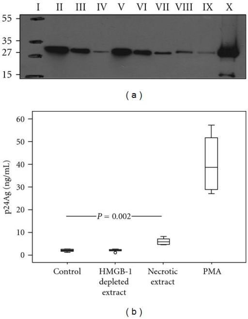 HMGB1 present in necrotic extract induces HIV-1 replication in U1 cells. (a) Western blot of cell supernatants (necrotic extracts) obtained after freeze-thawing cycles of peripheral blood mononuclear cells (PBMC) (30 × 106 cells/mL) from healthy donors: Molecular weight marker (I); supernatants after immune depletion of HMGB1 with nonspecific rabbit polyclonal antibody (II); depletion with anti-HMGB1 antibody −5 μg (III) and 10 μg (IV); necrotic extract loaded 20 μL (V), 10 μL (VI), and 5 μL (VII); 100 ng (VIII) and 75 ng (IX) of recombinant HMGB1; cell debris (X). Numbers to the left depict positions of molecular mass markers (in kDa). (b) Levels of HIV p24 protein in cell culture supernatants after 72 h incubation of U1 cells with necrotic extract (HMGB1 concentration 1 μg/mL): HMGB1-depleted necrotic extract and mock cells. PMA served as a positive control (20 nM). The levels of viral replication were approximately 2-fold higher after stimulation by necrotic extract compared to the mock cells (P = 0.002). Results from three independent experiments in duplicates are presented.