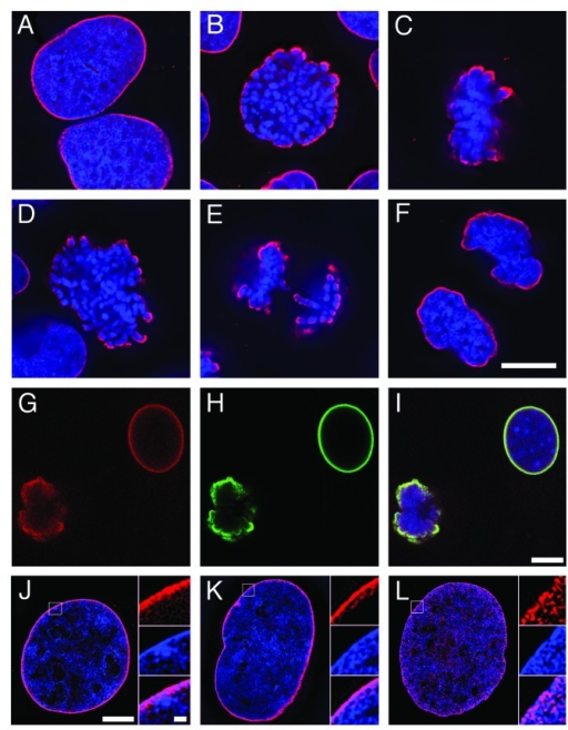 Figure 1. Immunostaining of interphase and mitotic cells with anti-phosphatidylserine (1H6) compared with epichromatin (PL2–6). (A–F) Deconvolution imaging of PFA-fixed U2OS cells with 1H6 (red) and DAPI (blue). (G–I) Confocal images of colocalized 1H6 (red) and PL2–6 (green) on methanol-fixed NIH 3T3 cells; blue represents TOPRO-3 stained DNA. Images are merged in (I). (J–L) 3-D SIM images of PFA-fixed U2OS cells reacted with 1H6 (J), PL2–6 (K) and PL2–7 (L); antibodies staining (red), DAPI (blue). Higher magnification inserts are shown at the right of each frame, presented top-to-bottom as antibody, DAPI and merge. Scale bars: (A–F), 10 µm; (G–I), 10 µm; (J–L), 5 µm; (J–L inserts), 500 nm.