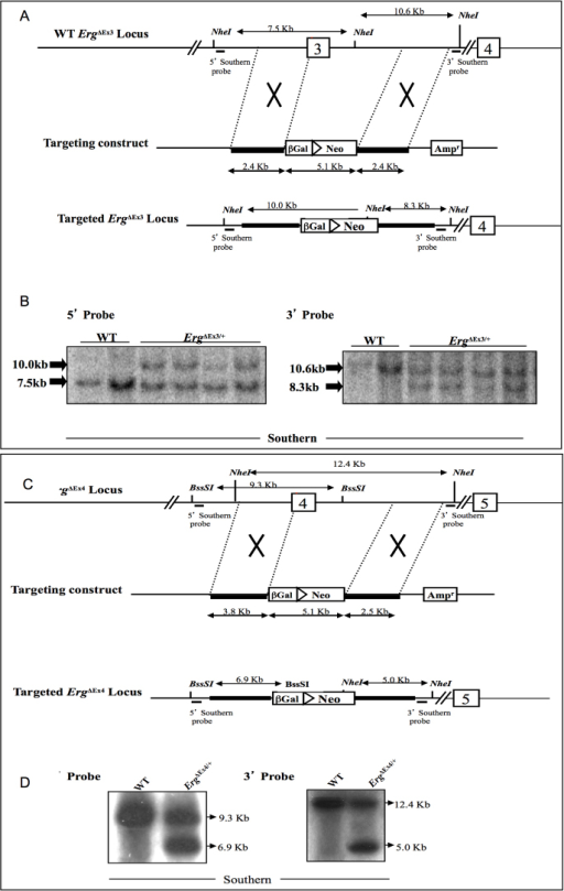 Targeting of ErgΔEx3/+ and ErgΔEx4/+ loci. (A) The wild-type murine Erg locus, the targeting construct, and targeted locus with exon 3 replaced by the lacZ-Neo reporter cassette. The numbered boxes represent Erg exons. Bold lines indicate the arms of homology. The positions of Southern blotting probes are indicated. (B) Southern analysis to identify ErgΔEx3/+ ES cell clones using 5′ and 3′ probes that distinguish NheI fragments in the wild-type and targeted alleles. (C) Erg wild-type locus, the targeting construct, and targeted locus with exon 4 replaced by the lacZ-Neo reporter cassette. (D) Southern analysis to identify ErgΔEx4/+ ES cell clones using 5′ and 3′ probes that distinguish BssSI and NheI fragments in the wild-type and targeted allele, respectively.