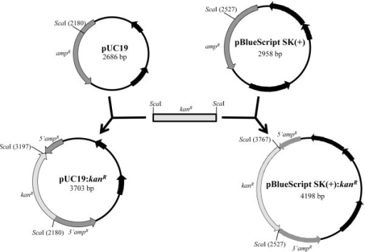 using kanamycin resistance bacteria essay Pathogenic bacteria utilise a number of using recombinase based in vivo expression technology rivet biology essay print encoding kanamycin resistance.