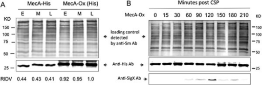 Constitutive expression of MecA and its effect on the cellular levels of SigX. A. Western blot analysis of cellular levels of MecA in S. mutans strain GF-His2 (MecA-His) and strain GF-Ox (MecA-Ox) that constitutively expressed MecA. The samples were taken from the cultures of these strains grown during the early- (E), mid- (M) and late- (L) exponential phases to prepare the crude cell lysates. The cellular MecA of these strains were detected by Western blotting using the anti-His antibody. The intensities of the bands were scanned and converted as relative integrated density values (RIDV) for comparison. The total protein loading controls from the cell lysates of these strains were detected using the anti-S. mutans antibody. B. The effect of constitutively expressed MecA on the cellular levels of SigX in GF-Ox (MecA-Ox) grown in THYE in response to CSP. The cellular MecA was detected by Western blotting using the anti-His antibody, while the cellular SigX in the same strain was detected using the anti-SigX antibody.