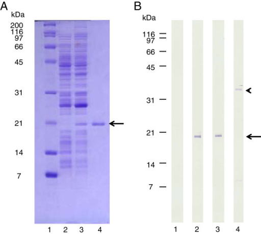 Evaluation of rcaIL-2 expression and affinity purification by SDS-PAGE and Western blot. A. Samples analysed in 15% polyacrilamide gel stained with Commassie blue. Lane 1, Molecular weight markers; Lane 2, E. coli BL21(DE3)pLysS-pRSET without insert; Lane 3, BL21(DE3)pLysS-pRSET-caIL-2; Lane 4, affinity purified rcaIL-2-F43L. B. Samples evaluated by Western blot developed with an anti-His tag monoclonal antibody conjugated with alkaline phosphatase. Lane 1, E. coli BL21(DE3)pLysS-pRSET without insert; Lane 2, BL21(DE3)pLysS-pRSET-caIL-2; Lane 3, affinity purified rcaIL-2-F43L; and Lane 4, affinity purified His-tagged enhanced green fluorescent protein (EGFP, positive control). Arrows and arrow head indicate rcaIL-2F43L and EGFP bands, respectively.