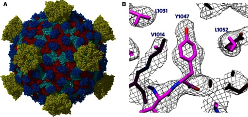 a 3.3 Å structure of a non-enveloped icosahedral virus using Cryo-TEM. b Image of a selected region were individual side chains are clearly visible in the Cryo-TEM reconstruction validating the high resolution of the reconstruction. Images kindly provided by Z. Hong Zhou Electron Imaging Center for Nanomachines (EICN) CNSI and Department of Microbiology, Immun & Mol. Genetics, UCLA, and adapted from [9]. EMDB Accession code: EMD-5160; Fitted PDB ID: 3IYL
