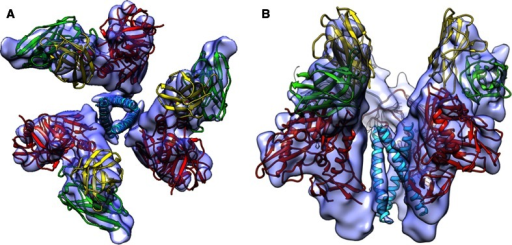 "9 Å three-dimensional reconstruction of soluble gp140 HIV envelope glycoprotein trimers bound to three copies of the Fab fragment from 17b, a neutralizing antibody whose binding mimics that of the co-receptor. The structure revealed the presence of a previously unknown ""activated"" intermediate state, where three buried helices become exposed and potentially accessible to binding by entry inhibitors. a Top view of the trimer and b Side view of the trimer. Images kindly provided by Sriram Subramaniam, Lab of Cell Biology, National Cancer Institute, National Institutes of Health. Adapted from [16]. EMDB Accession code: EMD-5462"
