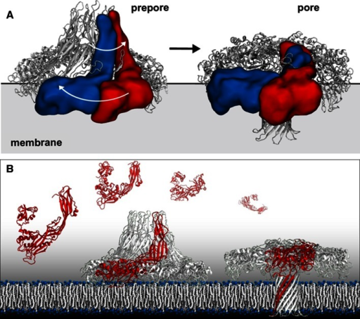 Cryo-TEM reveals various conformational states of areolysin pore formation where a prepore state transitions to a functional toxin pore inserted in the target membrane (a). Combining X-ray crystallography, Cryo-TEM, and molecular dynamics modeling revealed a novel swirling membrane insertion mechanism to form the pore, allowing for an atomic resolution interpretation of the transition from monomer to prepore to the functional pore state (b). Images kindly provided by Matteo Dal Peraro, Biomolecular Modeling—LBM Institute of Bioengineering, School of Life Sciences École Polytechnique Fédérale de Lausanne—EPFL & Swiss Institute of Bioinformatics—SIB Adapted from [20]