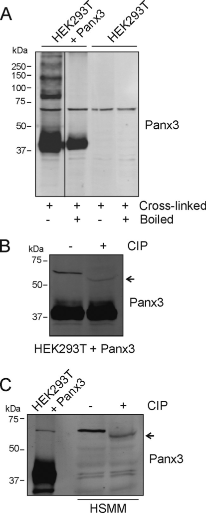 Treatment with alkaline phosphatase alters the electrophoretic motility of the ∼70-kDa immunoreactive species of Panx3.A, parental HEK293T cells and HEK293T transfected with Panx3 were solubilized with Triton X-100, cross-linked with DSP, separated by SDS-PAGE, and immunoblotted with anti-Panx3. After the cross-links were reversed by boiling the samples in the presence of DTT, only the ∼43-kDa (monomer) and ∼70-kDa immunoreactive species of Panx3 were still present. Lysates of HEK293T cells transfected with Panx3 (B) or HSMM (C) were treated with CIP and submitted to SDS-PAGE. Although the electrophoretic motility of the lower Mr form of Panx3 was not affected (B), its ∼70-kDa immunoreactive species migrated further (arrow) after treatment of HEK293T and HSMM lysates with CIP. Representative Western blots of three independent experiments are shown.