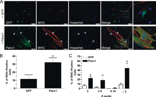 Overexpression of Panx1 accelerates human primary skeletal muscle myoblast differentiation. HSMM were transfected with Panx1 (labeled in green) or GFP and placed in differentiation medium and examined 2 days later for MHC (labeled in red) expression and myotube formation. Representative pictures of three independent experiments are shown in A. When compared with cells expressing GFP, a higher proportion of Panx1-transfected cells were MHC-positive (B), and among those cells, a higher percentage contained two or more nuclei indicative of fusion (A, arrow), which was quantified in C. Blue = nuclei; bars = 50 μm. *, p < 0.05 compared with GFP.
