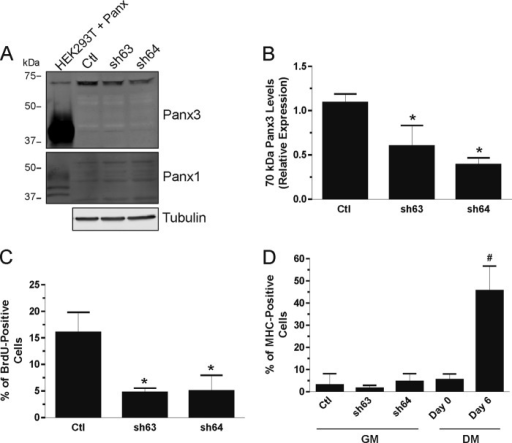 Knockdown of the ∼70-kDa immunoreactive species of Panx3 inhibits skeletal muscle myoblast proliferation without inducing their differentiation. Transfection of two Panx3 shRNAs (sh63 and sh64) resulted in a significant reduction of the ∼70-kDa immunoreactive species of Panx3 compared with the control scramble shRNA (Ctl) (A and B) without modifying the levels of Panx1 nor the ∼43-kDa species of Panx3 (A). BrdU incorporation assay showed that knockdown of the ∼70-kDa species reduces HSMM proliferation in growth medium (GM) (C) without triggering their differentiation (D). Undifferentiated (Day 0) and differentiated (Day 6 in DM) HSMM were used as comparison. Tubulin was used as a loading control. *, p < 0.05 compared with the Ctl shRNA; #, p < 0.001 compared with Day 0.