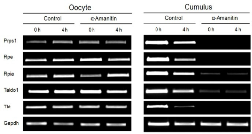 Expression of various enzymes related to the cellular metabolism in oocytes (left panel) and CCs (right panel) that obtained from the COCs after culture in the control and the α-amanitin-treated experimental group.