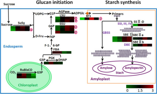 An overview of the starch biosynthesis processes in wheat endosperm. The starch biosynthesis includes sucrose degradation pathway, photosynthesis pathway as the raw materials source and starch biosynthesis pathway, and consists of two distinct phases: the glucan initiation process and the starch amplification process. ADPG is mainly synthesized by the cytosolic AGPase SSU and LSU, or supplied by sucrose degradation. The subsequent mechanisms underlying the glucan initiation process remain to be established. Branched dextrins are putatively processed by the coordinated activities of SS, BE, and/or DBE to produce the prototype of an amylopectin cluster structure, which further develops into amylopectin to establish the basic structure. Amylose is mainly synthesized by GBSS. Two AGPase SSU, two AGPase LSU and one Susy were phosphorylated. The protein levels are shown in coloured squares, indicating the change of expression for each developmental stage.