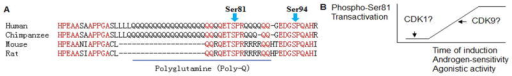 AR linear amino acid sequences in the vicinity of Ser81 and Ser94 residues.(A) Alignment of human, chimpanzee, mouse and rat AR with highlighted conserved residues (in red) and polyglutamine region (underlined); (B) Schematic drawing indicates that Ser81 phosphorylation is correlated to AR functional activities.