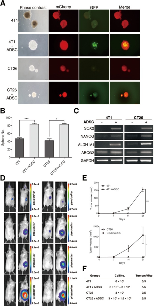 Enhanced tumor-initiating properties of breast and colon cancer cells by ADSC stimulation(A) Representative phase-contrast and fluorescence images and (B) quantitation of spheres generated by 4T1, 4T1 plus ADSCs, CT26, and CT26 plus ADSCs; scale bars indicate 100 μm. Values are means + SEM; *, P<0.05; ***P<0.001 in unpaired t test with Welch's correction. (C) mRNA expression of CSC markers SOX2, NANOG, ALDH1A1, and ABCG2 were evaluated by RT-PCR; GAPDH served as loading control. (D) Representative bioluminescence images and (E) tumour volume measurements (means ± SEM) from syngeneic tumor models. Results were taken 0, 7, 14, and 21 days after subcutaneous injection of 4T1 or CT26 cells with or without ADSCs; *, P<0.05; ***, P<0.001 using two-way ANOVA. (F) Quantitation of tumor formation by 4T1 and CT26 cells with or without ADSCs in mice. Animals were implanted with indicated cell amounts subcutaneously, and the number of mice with tumors after 60 days is indicated.