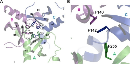 "The key residues involved in HtrA3 trimer formation.(A) The trimer is stabilized by three phenylalanines in the PD of each monomer. (B) A ""lock201D structure formed by F140, F142 and F255. The HtrA1 protein PD has an analogous trimer arrangement with F140 replaced by tyrosine. The chains A, B and C of the ΔN-HtrA3 trimer are shown in green, magenta and blue, respectively."