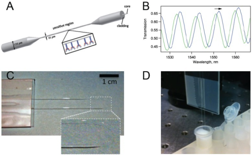 (a) A schematic representation of a biconically tapered fiber sensor with antibodies on the surface; (b) Interference of the two modes (typically HE11 and HE12) excited in the tapered region gives rise to a transmission spectrum with trackable peaks; (c) Photo of a biconically tapered fiber sensor formed into a U-shape. The inset shows a magnified version of the thin region; (d) The biosensor dipped in a solution within a test tube.