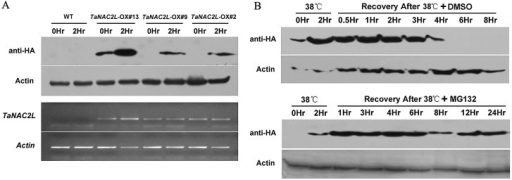 Protein levels of TaNAC2L in TaNAC2L-OX transgenic lines.A. TaNAC2L protein and transcript levels in TaNAC2L-overexpressing lines (#2, #9 and #13) under normal conditions and 38°C heat stress. Western blot analyses were performed with the anti-HA monoclonal antibody. B. Seven-day-old wild-type (WT) and TaNAC2L-OX-#13 seedlings were treated at 38°C for 2 h. After heat treatment, seedlings were transferred to dimethylsulfoxide (DMSO) for 0.5, 1, 2, 3, 4, 6, or 8 h; or DMSO with 50 μM MG132 for 1, 3, 4, 6, 8, 12, or 24 h before harvesting. The HA antibody was used for the immunoblot analyses.