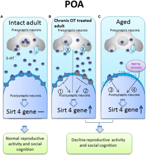 A hypothetical diagram of sirt4 gene regulation by serotonin (5-HT) in the preoptic area (POA) of intact adult, chronic citalopram (CIT) treated adult and aged animals. (A) In the intact adult, sirt4 gene expression levels do not change; (B) in the chronic CIT treated adult, the inhibition of 5-HT re-uptake results in decreased presynaptic 5-HT content (pathway ①) or desensitization of postsynaptic receptors that could subsequently be less activated in the presence of normal, or even increased, synaptic 5-HT concentrations (pathway ②), either of which can result in decreased 5-HT neurotransmission and increased sirt4 gene expression; (C) in aged animals, the serotonergic system may be impaired by decreased 5-HT synthesis (pathway ③) or a decrease in postsynaptic 5-HT receptors (dotted receptor) (pathway ④) to explain sirt4 upregulation, or an unknown age related effect could increase sirt4 gene expression. These 5-HT signaling pathways could facilitate sirt4 gene expression in the POA leading to reproductive and cognitive failure.  5-HT receptors  Desensitized 5-HT receptors  Decrease 5-HT receptors  5-HT transporter  re-uptake  Inhibition of re-uptake  increase  No change in gene expression, ① decrease 5-HT neurotransmission, ② desensitized receptor, ③ decrease 5-HT neurotransmission, ④unknown age-related factors could activate sirt4 gene expression.