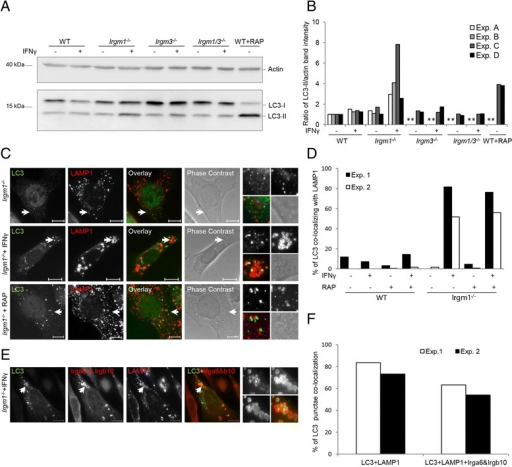 IFN-γ-induced Irgm1−/− mouse embryonic fibroblasts (MEFs) show autophagic flux impairment. a WT, Irgm1−/−, Irgm3−/−, and Irgm1/Irgm3−/− MEFs were induced with 200 U/mL IFN-γ for 24 hours, 40 μg/mL rapamycin (RAP) for 2 hours or left untreated. Samples were lysed and equal sample amounts were analyzed by SDS-PAGE/western blot. Western blots were probed with anti-LC3 and anti-actin antibody. b Quantification of 6a, representing ratios of LC3-II and actin band intensities for each sample. Results of four independent experiments are shown. Asterisks mark samples that were not included in the specific experiment. c Wild type (WT) and Irgm1−/− MEFs were induced with 200 U/mL IFN-γ for 24 hours, 40 μg/mL RAP for 2 hours, or left untreated. Cells were fixed and stained for LC3 and LAMP1. Representative microscopic images of LC3 and LAMP1 co-localization are shown. Arrows point at the LC3 structures magnified at the end of each panel in the following array: upper left: LC3, upper right: LAMP1, lower left: merge, lower right: phase contrast. Scale bars represent 10 μM. d Quantification of 6c and S7, showing percent of LC3 structures co-localizing with LAMP1; 50 cells per sample were quantified and the results of two independent experiments are shown. e WT and Irgm1−/− MEFs were induced with 200 U/mL IFN-γ for 24 hours or left untreated and transfected with EGFP-LC3. Cells were fixed and stained for LAMP1, Irga6 (165/3), and Irgb10. Irga6 and Irgb10 were detected with the same secondary antibody (Donkey anti-rabbit Alexa555), so they both appear in the same channel. Representative microscopic images of LC3, LAMP1, and Irga6/Irgb10 co-localization are shown. Arrows point at the LC3 structures shown in enlargement at the end of each panel in the following array: upper left: LC3, upper right: Irga6 and Irgb10, lower left: LAMP1, lower right: Merge of Irga6, Irgb10, and LC3. Scale bars represent 10 μM. f Quantification of 6e, showing percent of LC3 structures co-localizing with LAMP1 and percent of LC3 structures co-localizing with Irga6, Irgb10, and LAMP1; 50 cells per sample were quantified and the results of two independent experiments are shown