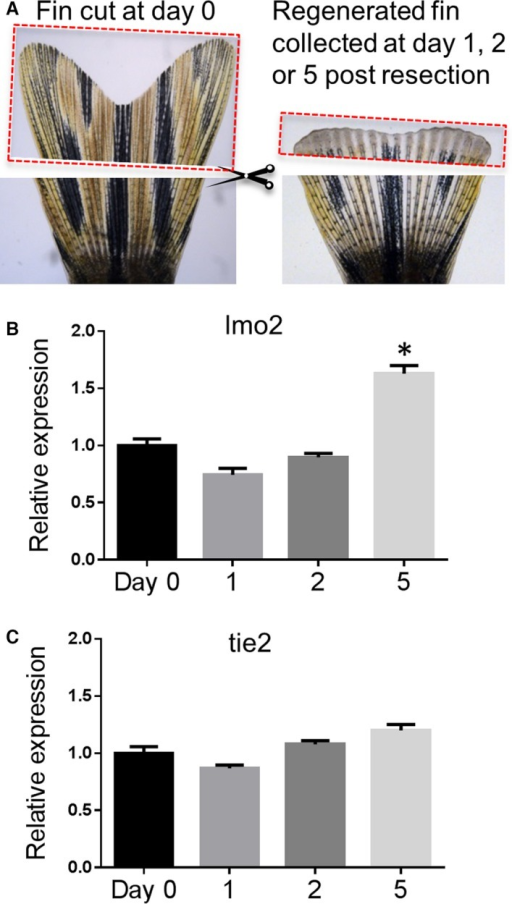 lmo2 gene expression increased following caudal fin resection and the regeneration process. A, To analyze changes in gene expression in the regenerating caudal fin, the amputated tissues from 15 fish were collected at day 0 (left panel) and regenerating distal tissues were resected and collected at 1, 2, or 5 days after the original resection (n=5 for each time point) (right panel, a fin at 2 days postresection). B, Gene expression of lmo2 in the regenerating fin. C, Gene expression of tie2 in the regenerating fin. Data are presented as mean±SEM (n=5). *P<0.05 vs control.