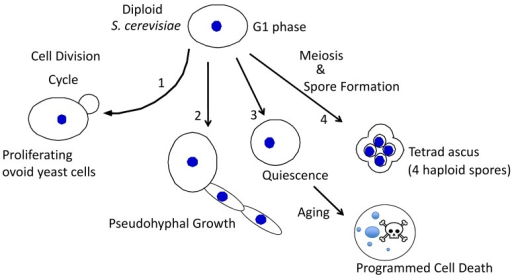 FIGURE 1: Alternative fates for diploid yeast.S. cerevisiae typically have an ovoid shape whenproliferating (1), and can differentiate to form chains of elongatedpseudohyphal cells (2), rounded quiescent cells that subsequently ageand succumb to programmed cell death (3), or tetrad asci, i.e. fourhaploid spores held together in an ascal sac (4).