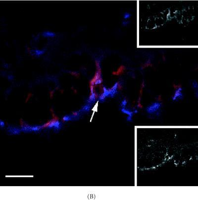 Detection of ZO-1 protein and bright TLC-LRCs in the 8 week-old C57 Bl6N mammary duct. (A) Co-localization of ZO-1 protein (blue) and bright LRC (red). (B) High power magnification of area shown in (A) (arrow). Note bright LRCs and ZO-1 expression around the polarized cell borders. Upper inset in (B) TRITC-rhodamine channel (red) showing bright TLC-labeled cell (arrow) and lower inset, AMCA-UV channel showing ZO-1 protein expression. Scale bar in (A) 90 μm and (B) 190 μm.