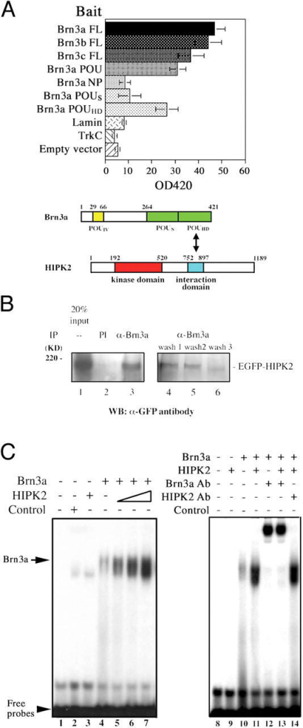 HIPK2 interacts with Brn3a and promotes Brn3a binding to DNA elements. (A) Isolation of HIPK2 by yeast two-hybrid screen. The domain between amino acids 752 and 897 of HIPK2 interacts with full-length Brn3a, Brn3b, and Brn3c. Interaction between Brn3a and HIPK2 is mediated by the POU homeodomain (Brn3a POUHD), not the POU specific domain (POUS) or non-POU domain (Brn3a NP). Data represent mean ± SEM (n = 3). A schematic diagram of Brn3a and HIPK2 interaction. (B) Brn3a and HIPK2 are present in a protein complex that can be coimmunoprecipitated with Brn3a antibody, but not preimmune sera (PI). Interaction between Brn3a and HIPK2 is reduced by increasing wash stringency. Whereas detergents NP-40 (1%; wash 1) and sodium deoxycholate (0.5%; wash 2) preserve Brn3a–HIPK2 interaction, the presence of ionic detergent SDS (0.1%; wash 3) significantly reduces such interaction. (C) Electrophoretic mobility shift assays for Brn3a and HIPK2. HIPK2 enhances Brn3a binding to consensus DNA element (b3s1). Routinely, 2 μl of in vitro translated Brn3a protein is added (lanes 4–7) and increasing amount of HIPK2 (1, 2, and 5 μl) is added to the reaction (lanes 5–7). Although Brn3a antibody produces a supershift, the addition of HIPK2 antibody does not (lanes 10–14).