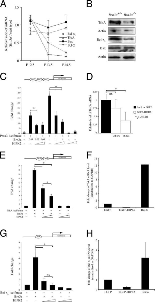 HIPK2 suppresses Brn3a auto-regulatory activity and Brn3a downstream target genes. (A) Progressive down-regulation of TrkA and Bcl-xL, but not Bcl-2 or Bax, in trigeminal ganglion of Brn3a−/− mutants. The mRNA levels of TrkA, Bcl-2, Bcl-xL and Bax are determined in the trigeminal ganglion of wild-type and Brn3a−/− embryos from E12.5 to14.5 using qRT-PCR assays. Although the expression levels of these genes in Brn3a−/− are comparable to those in wild type at E12.5, mRNA levels of TrkA and Bcl-xL show significant down-regulation at E13.5. By E14.5, <20% of TrkA and Bcl-xL mRNAs are detected in the trigeminal ganglion of Brn3a−/−. In contrast, mRNA levels of Bcl-2 and Bax in Brn3a−/− are comparable to those in wild type at the same stages. Data represent mean ± SEM (n = 3). (B) Consistent with the qRT-PCR results, the amounts of TrkA and Bcl-xL protein show significant reductions in the trigeminal ganglion of Brn3a−/− at E15.5. In contrast, no reduction in Bax is detected. (C) HIPK2 inhibits Brn3a-mediated activation of luciferase construct Prox3, which contains synthetic DNA binding elements from brn3a enhancer. The luciferase activities of Prox3 are presented as mean ± SEM (n = 3, * indicates P < 0.01, t test). The amounts of DNA added to each reaction are indicated below each graph. All luciferase activities are normalized to Renilla luciferase reporter activity. (D) Consistent with its ability to suppress the luciferase activity of Prox3, expression of EGFP-HIPK2 in cultured trigeminal neurons using HSV leads to a progressive down-regulation of Brn3a mRNA. In contrast, expression of LacZ or EGFP in neurons has no effect on Brn3a mRNA level. Data represent mean ± SEM (n = 3, ns indicates no significant difference and * indicates P < 0.01, t test). (E) HIPK2 inhibits Brn3a-mediated activation of the TrkA luciferase activity. TrkA luciferase construct contains two Brn3a binding sites identified in the 5′-end of trkA promoter (Ma et al., 2003). TrkA luciferase activities, measured 24 h after transfection, are expressed as fold change compared with control. Values are expressed as mean ± SEM (n = 3). * Indicates P < 0.01 using t test. (F) HIPK2 down-regulates TrkA mRNA level to <10% of that in neurons expressing EGFP. In contrast, Brn3a up-regulates the mRNA of TrkA in cultured sensory neurons by at least 12-fold. Changes in the level of TrkA mRNA are determined using qRT-PCR assays and standardized to GAPDH. Neurons are collected for RNA extraction 48 h after infection. qRT-PCR assays are done in triplicates and at least three samples from each treatment are examined. Data represent mean ± SEM. (G) HIPK2 also inhibits Brn3a-mediated activation of Bcl-xL luciferase activity. Data represent mean 6 SEM (n = 3, * indicates P < 0.01, t test). (H) Expression of EGFP-HIPK2 down-regulates the endogenous level of Bcl-xL mRNA in cultured sensory neurons to <20% of that in neurons expressing EGFP. In contrast, expression of Brn3a increases Bcl-xL mRNA by more than threefold. Data represent mean ± SEM (n = 3).