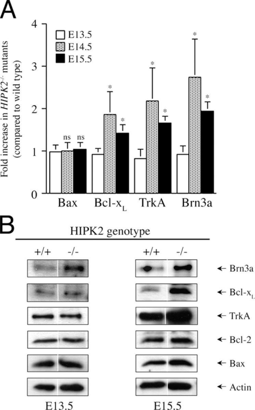 Stage-specific up-regulation of Brn3a, TrkA, and Bcl-xL in the trigeminal ganglion of HIPK2−/− mutants. (A) The mRNA levels of Brn3a, TrkA, Bcl-xL, and Bax in the trigeminal ganglion of HIPK2−/− mutants and wild-type littermates are determined using qRT-PCR assays. No alteration in the mRNA level is detected at E13.5. In contrast, significant increases in the mRNA levels of Brn3a, TrkA, and Bcl-xL are present at E14.5 and E15.5. The level of Bax mRNA level remains unchanged from E13.5 to E15.5. The numbers of samples examined for each age group are: E13.5, n = 3; E14.5, n = 3; and E15.5, n = 5. All data represent mean ± SEM. ns indicates no significant difference and * indicates P < 0.01 (t test). (B) Western blot and quantitative analyses of protein expression in trigeminal ganglion of HIPK2−/− mutants and wild-type littermates. At E13.5, only Brn3a protein shows a modest increase in the trigeminal ganglion of HIPK2−/− mutants, whereas the protein levels of TrkA, Bcl-xL, Bcl-2, and Bax remain unchanged. In contrast, the protein levels of Brn3a, TrkA, and Bcl-xL increase by 2.6-, 1.6-, and 1.7-fold in HIPK2−/− mutant trigeminal ganglion at E15.5, whereas the levels of Bax and Bcl-2 show no change.