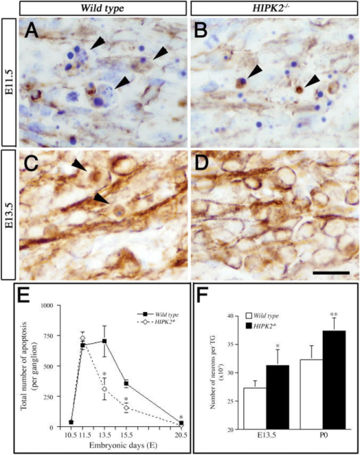 Reduced apoptosis and increased neuron numbers in the developing trigeminal ganglion of HIPK2−/− mutants. (A–D) At E11.5, the number of neurons undergoing apoptosis is similar in the trigeminal ganglion of wild-type (A) and HIPK2−/− mutants (B; arrowheads highlight apoptotic profiles that are neurofilament positive). In contrast, neuronal apoptosis in the trigeminal ganglion is significantly reduced in HIPK2−/− mutants at E13.5 (C and D). Bar, 20 μm. (E) Quantification of neuronal apoptosis in the trigeminal ganglion of wild-type and HIPK2−/− mutants from E10.5 to postnatal day 0 (P0). Although no difference is detected at E10.5 and E11.5, trigeminal ganglion in HIPK2−/− mutant show much reduced apoptosis at E13.5, E15.5 and P0 (P < 0.01, t test). (F) Number of neurons, as assessed by neurofilament-positive cells, is increased in HIPK2−/− mutants at E13.5 (0.01 < P < 0.025) and at P0 (P < 0.01, t test). Data represent mean ± SEM (n = 4).