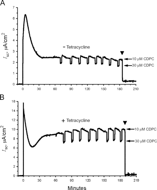 Representative strip-chart recordings of the short-circuit current, Isc, in (A) nontreated and (B) tetracycline-stimulated cells. The apical perfusion solution contained 10 μM CDPC except for the pulse periods when the blocker concentration was increased to 30 μM (arrows). The marked inhibition of current by 100 μM amiloride at the end of the experiments (arrowhead) confirmed that the Isc mostly reflects ENaC mediated Na+ currents. The amiloride sensitive currents are also subtracted from the short-circuit currents to determine macroscopic rates of sodium transport expressed as blocker-sensitive Na+ currents (INa).