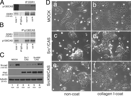 p130CAS plays a key role in collagen I–induced changes in BxPC3 cells. (A) 600 μg of protein from BxPC3 cells 12 h after plating on noncoated or collagen I–coated dishes was immunoprecipitated with rabbit IgG or anti-DDR1 rabbit pAb and blotted for p130CAS or DDR1. (B) 600 μg of protein from BxPC3 cells 12 h after plating on noncoated or collagen I–coated dishes was immunoprecipitated with mouse IgG or anti-p130CAS mouse mAb and blotted for DDR1 or p130CAS. (C) BxPC3 cells expressing the neomycin resistance gene (mock), Src*/CAS(SD) (dominant-negative p130CAS), or SrcKM/CAS(SD) (inactive control for dominant-negative p130CAS) were extracted in RIPA buffer 2 d after plating on noncoated or collagen I–coated dishes. 30 μg of protein was resolved by SDS-PAGE and blotted for N-cadherin, myc tag (to detect p130CAS), or tubulin. (D) Mock BxPC3 cells (a and b), cells expressing Src*/CAS(SD) (c and d), or cells expressing SrcKM/CAS(SD) (e and f) were cultured on noncoated (a, c, and e) or collagen I–coated dishes (b, d, and f) for 2 d. Bar, 100 μm.