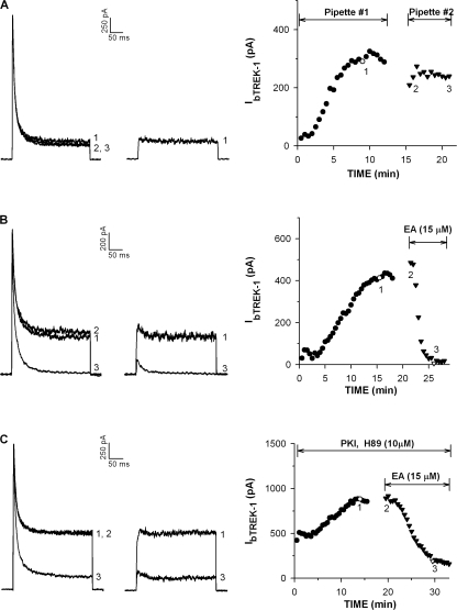 Inhibition of bTREK-1 by 8-pCPT-2′-O-Me-cAMP in twice-patched cells. Whole cell K+ currents were recorded in response to voltage steps to +20 mV applied at 30-s intervals from −80 mV, with or without depolarizing prepulses. Cells were sequentially patched with two pipettes containing standard solution, or the same solution supplemented with PKI(6–22) amide (4 μM), H-89 (10 μM), or 8-pCPT-2′-O-Me-cAMP (EA) as indicated. When bTREK-1 reached a stable maximum, the first pipette was withdrawn and the cell patched again with the second pipette. (A–C) Current traces and corresponding plots of bTREK-1 amplitude against time for cells patch clamped with pipettes containing the additions indicated. Closed circles represent pipette #1, closed triangles, pipette #2. Numbers on traces at left correspond to those on plot at right. Break in graph denotes time required to change patch pipettes.