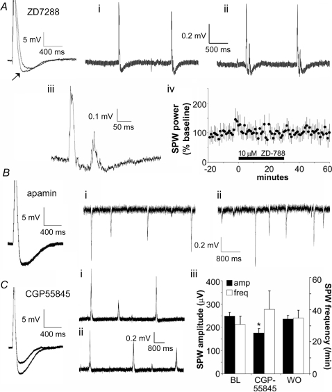 Effects of manipulating after-hyperpolarizing potentials (AHPs) on SPWs.A, ZD7288 (10 µM), an antagonist of I(h), reduces the AHP (arrow) found immediately after the composite EPSC produced by a brief burst of stimulation pulses, but has little effect on the later component of the AHP in CA3 neurons. Experiment was repeated in 3 cells from 3 slices. (i) SPWs recorded 10 minutes before and (ii) 10 minutes after the infusion of 10 µM ZD7288. Note the presence of a single small potential following each SPW under the latter conditions. (iii) Enlargement of example trace from (ii) indicates that the after-discharges have a similar waveform to SPWs. (iv) Power of the EEG spectrum (% baseline [bl]) in the SPW frequency range is unaffected by ZD7288 (n = 4 slices). B, Apamin (100 nM, 20 min), an inhibitor of SK channels, does not affect the composite EPSC elicited by a brief burst of afferent stimulation (left panel). Effect representative of 3 cells tested. Frequency and size of SPWs collected before (i) and during (ii) 100 nM apamin infusion are comparable. Records were collected from the apical dendrites of field CA3 and illustrate the reversed polarity associated with a local dipole. C, CGP55845 (50 µM, 20 min), an antagonist of GABA-B receptors, reduces the AHP elicited by an intense burst of afferent stimulation (left panel). Effect representative of 4 cells tested. SPWs observed 10 min prior to (i) and during (ii) 50 µM CGP55845 infusion did not show detectable differences in frequency or shape. (iii) The GABA-B antagonist produced a small depression of SPW amplitude (*p<0.05, paired t-test; n = 3) but did not reliably increase the frequency (p>0.3) of the waves. (BL:baseline; WO: washout).