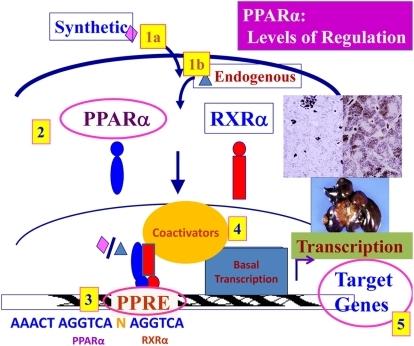 Levels of regulation of PPARα-mediated transcription.D ...
