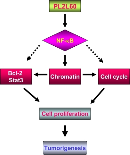 The hypothetical mechanisms underlying PL2L60 promoting tumorigenesis.PL2L60 can promote tumor cell growth through interaction with NF-κB. Migration of PL2L60 from cytoplasm to nucleus may promote nuclear localization of NF-κB. In the nucleus, PL2L60 might promote the transcriptional activity of NF-κB through remodeling chromatin structure, resulting in enhanced transcription of genes for cell survival, cell cycling and cell growth. This model might lead us to identification of novel signaling pathways specific for tumor cell survival and proliferation.