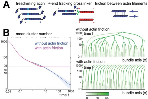Actin cluster formation and coalescence.A. Our computational model of sarcomeric pattern formation considers a one-dimensional bundle of parallel actin filaments, which undergo treadmilling, i.e. filaments polymerize at their plus-ends and depolymerize at their minus-ends resulting in a net motion of the plus-end with respect to the individual monomers. Plus-end tracking crosslinkers (green) can permanently attach to the plus-ends of actin filaments (blue and red, indicating filament polarity), while still allowing for polymerization at filament plus-ends. B. Plus-end tracking crosslinking results in the formation and coalescence of actin clusters as reflected by a reduction in the number of actin clusters (single actin filaments are counted as one cluster). If there is no friction between sliding filaments (), all actin clusters eventually coalesce into a small number of very large clusters (blue, means.e., ). Time is measured in units of actin length divided by treadmilling speed, . In the presence of inter-filament friction (), however, actin clusters above a critical size effectively repel each other, resulting in a kinetically stabilized configuration with a finite number of actin clusters (magenta). To the right, example kymographs of actin cluster coalescence are shown for the cases without friction and with friction, respectively. A small imbalance in the number of filaments treadmilling either to the right or to the left within the final striated bundle causes a slow motion of the entire bundle as a whole as is reflected by the tilted cluster trajectories. Using static instead of periodic boundary conditions impedes this motion, see SI text S1. The color scheme encodes filament number in actin clusters as shown in the color bar.
