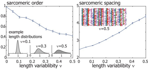 Sarcomeric order despite actin filament length variability.In a modified version of the simulations shown in figure 3, the lengths of individual actin filament were chosen from a unimodular length distribution, see main text. Example length distributions are shown for three values of the length variability parameter . Sarcomeric order also evolved in simulated acto-myosin bundles with a distribution of filament lengths, but with a reduced sarcomeric order parameter and increased sarcomere spacing at steady-state (means.e.).