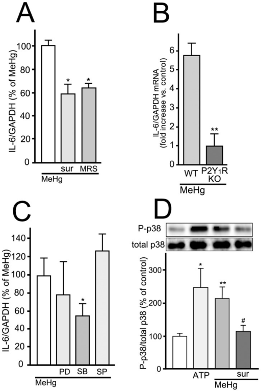 IL-6 upregulation by MeHg is mediated by P2Y1 receptors followed by p38 activation.(A) P2Y1 receptor blockade suppresses IL-6 mRNA expression induced by MeHg. MeHg (3 µM, 2 hr)-increased IL-6 mRNA expression was inhibited by either suramin (sur, 100 µM) or MRS2179 (MRS, 10 µM). *P<0.05 vs. MeHg. (B) P2Y1 receptor mediates MeHg-induced IL-6 mRNA expression. P2Y1R KO astrocytes exhibited no increase in IL-6 mRNA with MeHg (3 µM, 2 hr). **P<0.01 vs. WT. (C) Contribution of p38 in MeHg-induced IL-6 mRNA expression. The IL-6 mRNA expression evoked by MeHg (3 µM, 2 hr) was inhibited by SB203580 (SB, 10 µM) but not by PD98059 (PD, 10 µM) or SP600125 (SP, 10 µM). *P<0.05 vs. MeHg. (D) Downstream signaling molecule of P2Y1 receptor is p38. MeHg (3 µM, 30 min)-induced p38 phosphorylation was inhibited by suramin (sur, 100 µM). ATP (100 µM) also induced p38 phosphorylation. *P<0.05, **P<0.01 vs. control, #P<0.05 vs. MeHg.