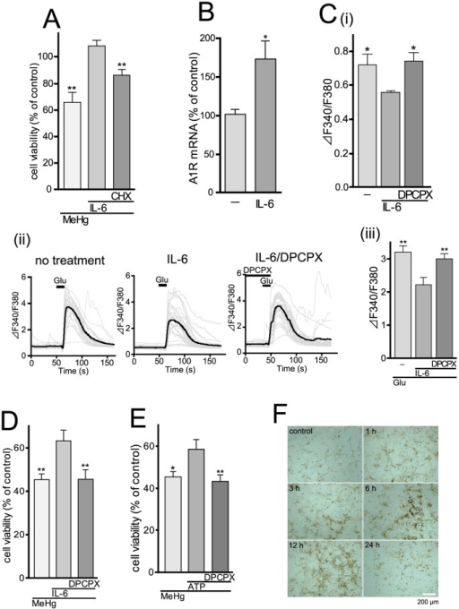 Adenosine A1 receptor mediates neuro-protection against MeHg via suppressing excitatory neurotransmission.(A) Newly synthesized proteins participate in the IL-6-mediated neuro-protection by recombinant IL-6 (100 pg/ml) was suppressed by CHX (1 µM). **P<0.01 vs. MeHg/IL-6. (B) Upregulation of adenosine A1 receptor mRNA by recombinant IL-6 (200 pg/ml, 2 hr) in the cortical neurons. *P<0.05 vs. no treatment. (C) Changes in [Ca2+]i in control and IL-6-treated cortical neurons, showing effect of A1 receptors. (i) The basal [Ca2+]i level in IL-6-treated (100 pg/ml, 24 hr) neurons was significantly lower than that in control neurons. This decrease was restored by DPCPX (1 µM). *P<0.05 vs. IL-6 alone. (ii) Representative traces of the glutamate-evoked increases in [Ca2+]i in non-treated control (left), IL-6-treated (100 pg/ml, 24 hr) (right) and IL-6-treated neurons in the presence of 1 µM DPCPX. Glutamate (10 µM) was added to the neurons for 10 s. Bold line in each panel showed averaged changes in [Ca2+]i in neurons, which was summarized in (iii). The glutamate-evoked increase in [Ca2+]i in IL-6-treated neurons was significantly lower than that in control neurons, which was restored by DPCPX. **P<0.01 vs. Glu/IL-6. (D) A1 receptor-mediated neuro-protection by IL-6. The protective effect of IL-6 (100 pg/ml) was suppressed by DPCPX (1 µM). **P<0.01 vs. MeHg/IL-6. (E) ATP-induced neuro-protection is mediated by A1 receptor. Exogenously applied ATP (100 µM) restored the MeHg (1 µM, 48 hr)-reduced neuronal viability, and this effect was blocked by DPCPX (1 µM). *P<0.05, **P<0.01 vs. MeHg/ATP. (F) The MeHg-evoked increase in activity of ecto-ATPases in astrocytes. Activity of ecto-ATPases was analyzed by an enzyme histochemical assay. When stimulated with MeHg (3 µM), the activity (shown as brown signals) was increased, which peaked at around 6 to 12 hr. Scale bar, 200 µm.