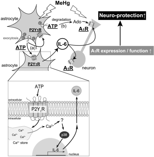A schematic diagram, illustrating mechanisms underlying astrocyte-mediated neuro-protection against MeHg.MeHg stimulates exocytosis of astrocytic ATP that functions as both (a) autocrine and (b) paracrine signals to reveal neuro-protection, i.e., (a) the released ATP as an autocrine signal, autostimulates P2Y1 receptors to induce IL-6 that upregulates neuronal adenosine A1 receptors, (b) the released ATP from astrocytes being degraded into adenosine, stimulates neuronal adenosine A1 receptors and suppresses neuronal excitability as a paracrine signal, thereby leading to further inhibition of neuronal excitability. As for mechanisms for IL-6 synthesis and release, an increase in [Ca2+]i in astrocytes mediated by P2Y1 receptors, and subsequent p38 phosphorylation were involved (insert).