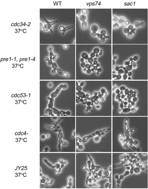Sac1p is involved in cdc34-2-dependent apical growth.Yeast strains cdc34-2, pre1-1 pre4-1, cdc53-1, cdc4-, JY25, cdc34-2/vps74Δ, pre1-1 pre4-1/vps74Δ, cdc53-1/vps74Δ, cdc4-/vps74Δ, JY25/vps74Δ, cdc34-2/sac1Δ, pre1-1 pre4-1/sac1Δ, cdc53-1/sac1Δ, cdc4-/sac1Δ, and JY25/sac1Δ were grown to mid-log phase and then transferred to 37oC for 6 h. The morphologies of these cells were visualized using microscopy.