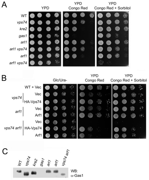 Deletion of VPS74 in combination with ARF1 results in a synergistic defect in cell wall integrity.(A) and (B) Indicated cells were cultured to mid-log phase, then 10-fold serial dilutions were spotted onto Ura minus plates containing 2% glucose (left panel), YPD plates containing 50 µg/ml Congo red (middle panel), or YPD plates containing 50 µg/ml Congo red and 1.2 M sorbitol (right panel). (C) Lysates were prepared from the indicated cells and proteins were precipitated with TCA to prepare an immunoblot that was probed with anti-Gas1p polyclonal antibodies.
