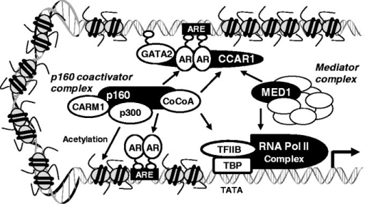 The proposed role of CCAR1 in chromatin loading and assembly of AR transcription complex. CCAR1 is recruited to GATA2-dependent AR-binding sites at least in part through interaction with DNA-bound GATA2 and AR and stabilizes their association with DNA, thereby increasing their occupancy on AR-binding sites. The recruited CCAR1 possibly provides a physical link between DNA-bound AR and Mediator complex and facilitates recruitment of p160 co-activator complex, and thereby facilitating transcription complex assembly, chromatin looping and chromatin remodeling. For example, CCAR1 facilitates AR and GATA2 recruitment and stabilizes their occupancies on the distal PSA enhancer (ARE III) containing a GATA2-dependent ARE. CCAR1 also facilitates recruitment of Mediator complex and Pol II to AR-bound PSA enhancer (ARE III) and promoter (ARE I and ARE II). CCAR1 provides a physical link in AR transcription complex, thereby leading to chromatin looping and enhancing communication between the PSA enhancer and promoter.
