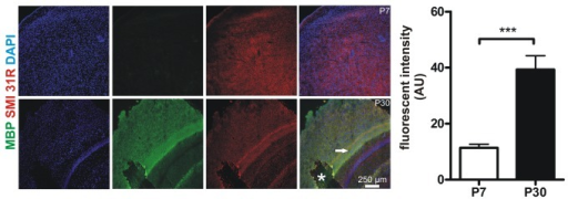 Murine cortices are less myelinated at P7 compared with P30.In order to determine myelination MBP expression was studied in cortices of P7 and P30 mice. Representative z-stack maximum projections (700 nm thickness of stacks) from 3 animals per group are shown (MBP green, the axonal marker SMI 31-R in red, DAPI blue). Note that MBP is nearly absent in the P7 cortex whilst there is high MBP expression at P30. Note the highly myelinated intermediate zone marked with an arrowhead. Asterisk marks a preparation artifact. Quantitative analyses of MBP fluorescence (AU: arbitrary units) demonstrate a significantly smaller MBP expression at P7. Pictures were acquired using equal time exposures and laser intensities.
