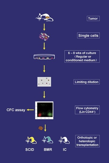 Establishment of clonal pCSC and CSC lines. Single tumour cells are cultured in regular or conditioned medium until tumour cells grow out and demonstrate a stable cell line. Then the cells are cloned by limiting dilution. The cloned cell lines are analysed phenotypically by flow cytometry, and the Lin – CD44+ cells with ambiguous stem cell markers are subjected to in vitro CFC assay and in vivo functional assay. SCID: SCID mice; BMR: lethally irradiated bone marrow-reconstituted mice; IC: immunocompetent mice.