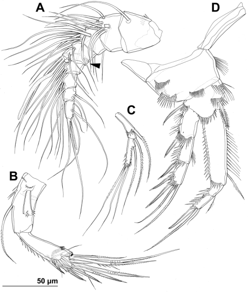 Stenhelia pubescens Chislenko, 1978, line drawings, female 3: A antennula, ventral B basis, endopod, and first exopodal segment of antenna, anterior C antennal exopod, anterior D first leg, anterior. Arrowhead indicates the presence of caudal suture on the fourth antennular segment.