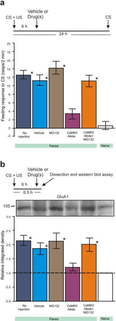 Proteasome inhibition offsets CaMKIINtide-induced memory impairment and the decrease in AMPARs(a) MG132 co-injected with CaMKIINtide at 6 h post-training rescues ALTM. Untreated paired (no injection, N=24), DMSO-injected (Vehicle, N=12), MG132-injected (N=12) and CaMKIINtide + MG132 injected (N=12) all showed significantly higher feeding responses to the CS compared to CaMKIINtide-injected (N=24) and naïve (N=24) animals. Asterisks indicate significantly higher feeding responses to the CS compared with CaMKIINtide and naive levels. ANOVA: P<0.001. Tukey's: CaMKIINtide-injected versus all other trained groups, P<0.05; CaMKIINtide-injected versus Naïve group, P>0.05; CaMKIINtide + MG132 injected group versus CaMKIINtide-injected and Naïve group, both P<0.05. (b) MG132 co-injected with CaMKIINtide at 6 h post-training rescues GluA1 receptor levels. Samples from untreated paired (no injection, N=4), DMSO-injected (Vehicle, N=8), MG132-injected (N=8) and CaMKIINtide + MG132 injected (N=8) animals all showed significantly higher GluA1 levels compared to CaMKIINtide-injected (N=8) and naïve (N=8) animals. Full-length blot is shown in Supplementary Fig. 8. Asterisks indicate significantly higher relative integrated density values compared with CaMKIINtide and naive baseline levels, respectively. One-way ANOVA: P<0.006. Tukey's: CaMKIINtide-injected versus all other trained groups, P<0.05. One-sample t-tests: CaMKIINtide-injected versus naïve baseline, P>0.05; all other groups versus naïve baseline, P<0.05. These experiments were replicated twice. All data are presented as means±SEM.