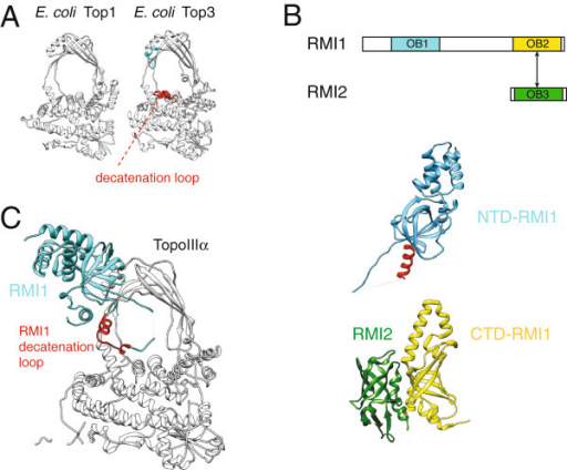 Topoisomerase IIIα and RMI1 reconstitute a DNA decatenase. (A) Structure of the E. coli TopoI relaxase (PDB ID 1ECL) and the E. coli TopoIII decatenase (PDB ID 1D6M). TopoIII contains specific insertions lining the pore of the topoisomerase toroid which are critical for efficient decatenation. (B) Linear and three dimensional structure of RMI1 and RMI2 (PDB IDs 3NBI and 4DAY). The decatenation loop of RMI1 is highlighted in red. (C) The N-terminal domain of RMI1 contributes to TopoIIIα a decatenation loop in trans (marked in red, PDB ID 4CGY).