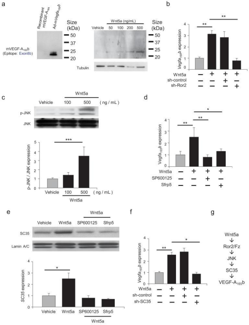 Wnt5a regulate VEGF-A165b expression via Ror2/JNK/SC35-dependent mechanism in macrophagesa. VEGF-A165b protein expression was measured by western immunoblot analysis in the presence or absence of recombinant Wnt5a in cultured RAW264.7 cells after treatment for 24 hours. b.Vegfa165b mRNA expression was measured by qRT-PCR 8 hours after treatment with Wnt5a (500 μg/ml) or vehicle in RAW264.7 cells that had been pre-incubated with vehicle, sh-control or sh-Ror2. ANOVA with post-hoc Tukey HSD. c. Phosphorylation of JNK (p-JNK) was measured by western blot analysis in cells treated with or without recombinant Wnt5a for 30 minutes. Relative phosphorylation levels of JNK were quantified by using ImageJ. Results are shown as the mean ± S.E. (n = 3/group). ANOVA with post-hoc Tukey HSD. d. The effects of JNK inhibition and Sfrp5 treatment or Wnt5a-induced Vegfa165b expression. Vegfa165b mRNA expression was measured by qRT-PCR. SP600125 was added 10 minutes prior to the addition of recombinant Wnt5a (500 ng/ml). Recombinant Sfrp5 was added at 1 μg/ml. Results are shown as the mean ± S.E. (n = 3/group). ANOVA with post-hoc Tukey HSD. e. SC35 protein expression was measured by western blot analysis in the presence or absence of stimulation with recombinant Wnt5a. The effects of the JNK inhibitor SP600125 or Sfrp5 on Wnt5a-induced SC35 expression were evaluated at 1 hour. Relative levels of SC35 were quantified by using ImageJ. Immunoblots were normalized to LaminA/C signal. Results are shown as the mean ± S.E. (n = 3/group). ANOVA with post-hoc Tukey HSD. f. SC35 is essential for Vegfa165b expression. Vegfa165b mRNA expression was measured by qRT-PCR. Cells were treated with sh-control and sh-SC35 for 8 hours and treated with or without recombinant Wnt5a. ANOVA with post-hoc Tukey HSD. g. Graphic scheme of proposed mechanism. *P < 0.05, **P < 0.01, ***P < 0.001.